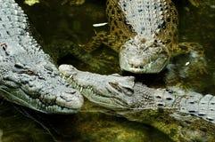 Crocodiles at safari park Indonesia Royalty Free Stock Photography
