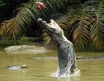 Crocodiles sautants Image libre de droits