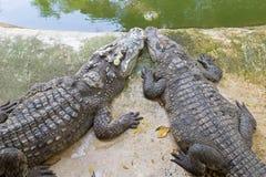 2 crocodiles siamois se reposant sur le ciment parquettent près du wate vert Photographie stock libre de droits