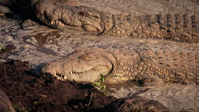 Crocodiles Sleeping stock video
