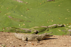Crocodiles in the slough Stock Image
