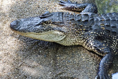 Crocodiles subfamily Crocodylinae. Photo of one  aggressive Crocodile wild animal Stock Image