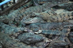 Crocodiles. Subfamily Crocodylinae or true  are large aquatic reptiles that live throughout the tropics in Africa, Asia, the Americas and Australia Royalty Free Stock Images