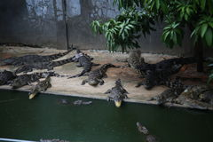 Crocodiles. Subfamily Crocodylinae or true  are large aquatic reptiles that live throughout the tropics in Africa, Asia, the Americas and Australia Royalty Free Stock Photos