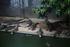 Crocodiles. Subfamily Crocodylinae or true  are large aquatic reptiles that live throughout the tropics in Africa, Asia, the Americas and Australia Stock Photography