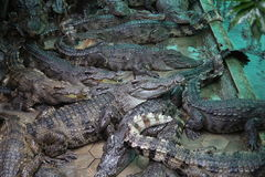 Crocodiles. Subfamily Crocodylinae or true  are large aquatic reptiles that live throughout the tropics in Africa, Asia, the Americas and Australia Stock Images