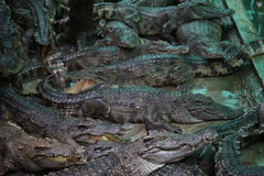 Crocodiles. Subfamily Crocodylinae or true  are large aquatic reptiles that live throughout the tropics in Africa, Asia, the Americas and Australia Royalty Free Stock Photo