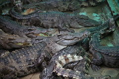 Crocodiles. Subfamily Crocodylinae or true  are large aquatic reptiles that live throughout the tropics in Africa, Asia, the Americas and Australia Stock Photo