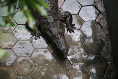 Crocodiles. Subfamily Crocodylinae or true  are large aquatic reptiles that live throughout the tropics in Africa, Asia, the Americas and Australia Stock Image