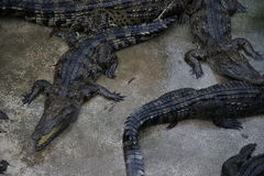 Crocodiles. Subfamily Crocodylinae or true  are large aquatic reptiles that live throughout the tropics in Africa, Asia, the Americas and Australia Royalty Free Stock Image