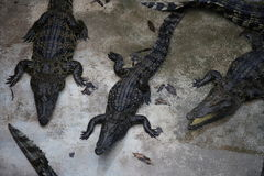 Crocodiles. Subfamily Crocodylinae or true  are large aquatic reptiles that live throughout the tropics in Africa, Asia, the Americas and Australia Stock Photos