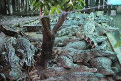 Crocodiles. Subfamily Crocodylinae or true  are large aquatic reptiles that live throughout the tropics in Africa, Asia, the Americas and Australia Royalty Free Stock Photography