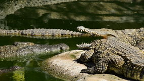 Crocodiles sunbathing in a river of a natural park stock video