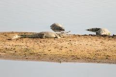 Crocodiles sur les banques de la rivière dans le lUANGWA du sud, Zambie photographie stock