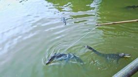 Crocodiles swim in farm pond visitor feeds with rod from bridge stock video