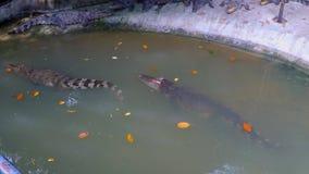 Crocodiles swim in the pool stock video footage
