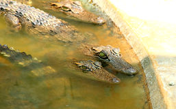 Crocodiles. Swimming in the pond Stock Photos
