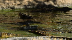 Crocodiles swimming in a river in natural park stock video