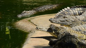 Crocodiles swimming and sunbathing in river of a natural park. Crocodiles or alligators in a river of a natural park or zoo stock video