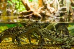 Crocodiles Stock Photography