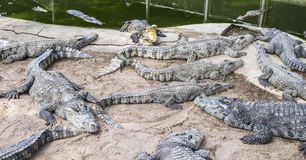 Crocodiles in Thailand Royalty Free Stock Photo