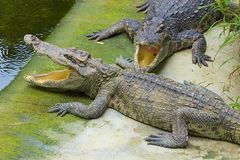 Crocodiles in Thailand. Two small crocodiles in crocodile farm Royalty Free Stock Photo
