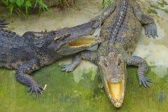 Crocodiles in Thailand. Two small crocodiles in crocodile farm Royalty Free Stock Photography