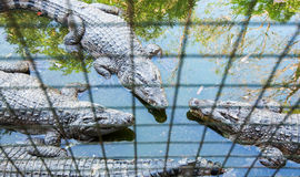Crocodiles Stock Images