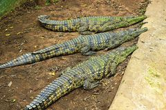 Crocodiles Stock Photos