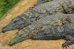Crocodiles Royalty Free Stock Image