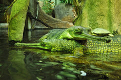 Crocodiles with turtle in ZOO, Czech Republic Royalty Free Stock Photography