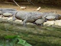 Crocodiles and turtles resting together. stock photos