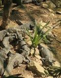 The Crocodiles at Vidanta Riviera Maya. Mexico royalty free stock image