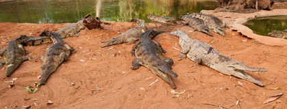Crocodiles waiting for their meal. Picture of a few crocodiles waiting for their meal.  They are on the shore and standing next to each other quietly Stock Image