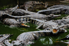 Crocodiles in the water Royalty Free Stock Image
