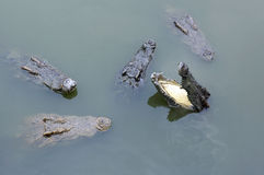 Crocodiles in water. The crocodiles in water Stock Images