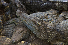 Crocodiles in water Royalty Free Stock Image