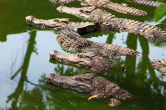 Crocodiles in water Stock Photos