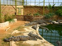 The crocodiles in winter pavilion on the farm on D Royalty Free Stock Image