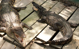 Crocodiles in the zoo Royalty Free Stock Image