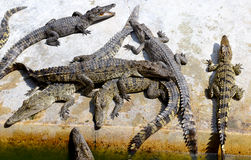 The crocodiles in zoo Stock Images