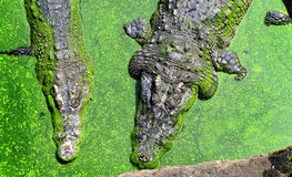 The crocodiles in zoo Royalty Free Stock Images