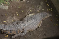 Crocodiles. In zoos who are sleeping during the day Royalty Free Stock Image
