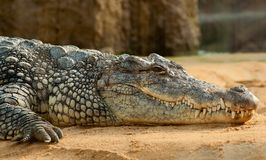 Crocodilia, Crocodile, Reptile, American Alligator Royalty Free Stock Image