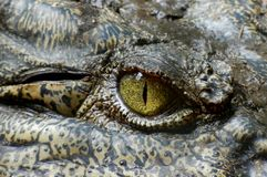 Crocodilia, Crocodile, Reptile, Nile Crocodile Stock Photo