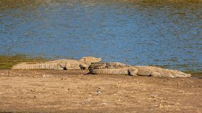 Two Crocodile at Sariska Tiger Reserve, India. The Crocodilia or Crocodylia is an order of mostly large, predatory, semiaquatic reptiles, known as crocodilians Royalty Free Stock Images