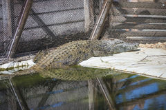 Crocodilia, crocodylia. The picture is shot in Zoo Lagos, Portugal Stock Image