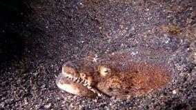 Crocodilinus de Brachysomophis de la anguila de la serpiente del cocodrilo con los camarones de la limpieza en la arena en la noc almacen de video
