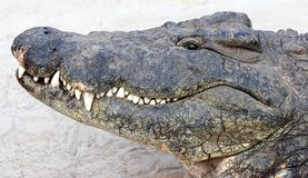 Crocodille Royalty Free Stock Photo