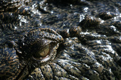 Crocodille Auge Stockfoto